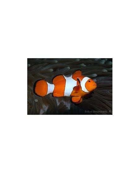 Amphiprion Ocellaris (criado)
