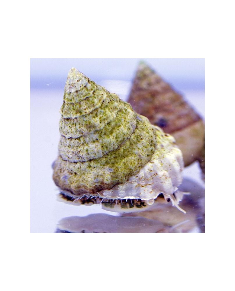 Tectus Fenestratus