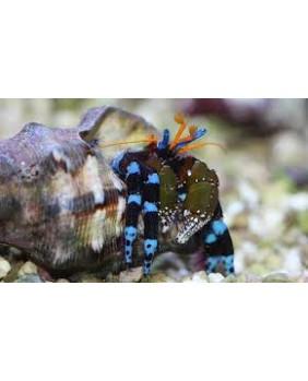 Calcinus Elegans (patas azules)