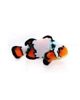 Amphiprion Ocellaris Snowflake