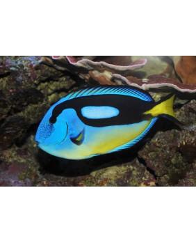 Paracanthurus Hepatus (Panza amarilla)
