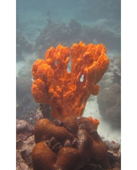 Stylotella aurontium