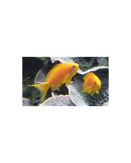 Anthias squannipinnis (Hembra)