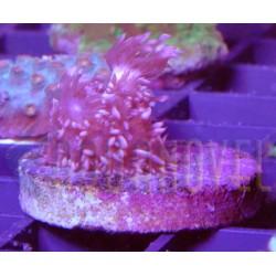 Goniopora Pink