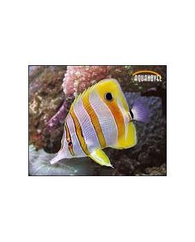 Chelmon Rostratus (M)