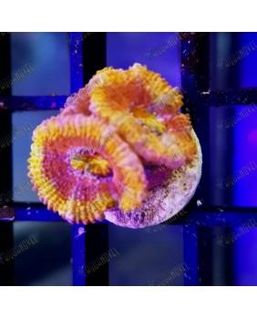 Acanthastrea Lorhowensis Rainbow