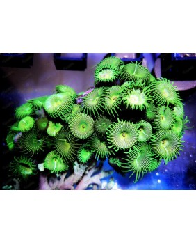 Palythoas verde fluor