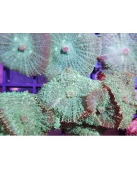 Rhodactis verde.