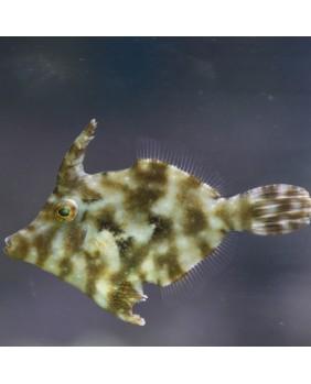 Acreichthys Tomentosus. Talla S