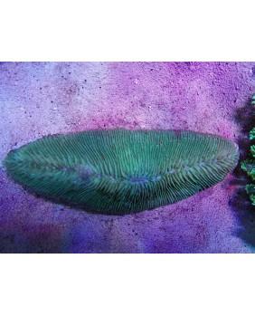Herpolitha limax (XL)