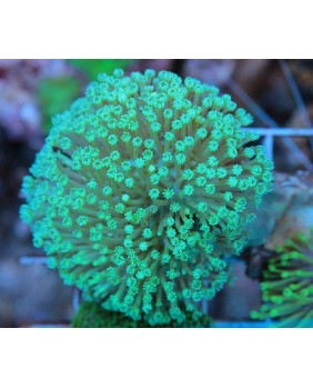 Sarcophyton Verde Fluor (M)
