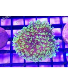 Sarcophyton Verde Fluor