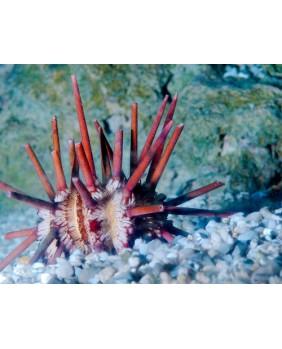 Eucidaris Metularia