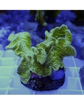 Pavona (Coral Cactus verde)