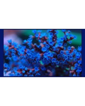 Gualagorgia Anas Ultra Blue...