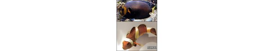 Parásitos peces